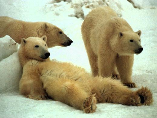 Orso bianco stanco cerca riposo
