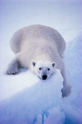 Orso bianco sfaticato