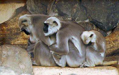 Scimmie in fila