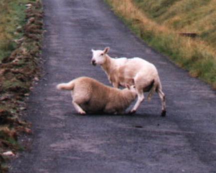 Attenti a queste pecore