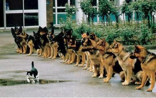 Attenzione comandate in rassegna. Pastori tedesci sull'attenti