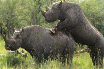 Rinoceronti in calore