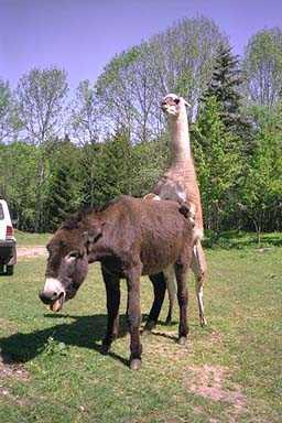 Incrocio pericoloso tra asino e lama