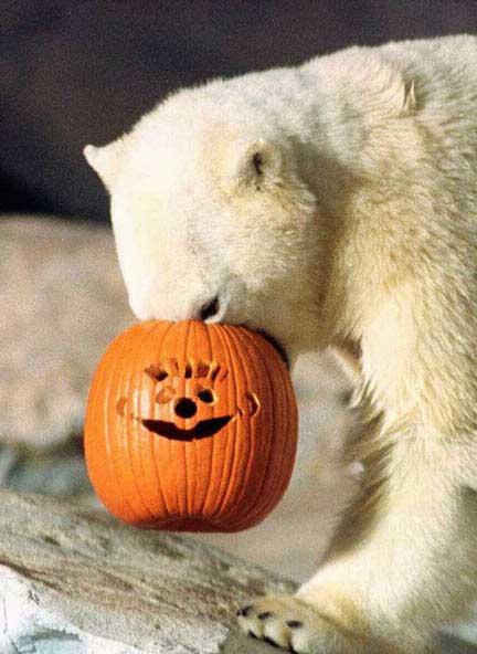 Dove ho messo il muso ? Orso bianco e zucca di Halloween