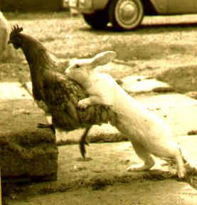 Ti acchiappo!!! Coniglio che cerca di catturare una gallina