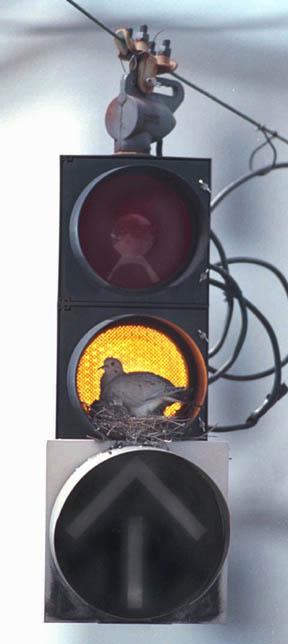 Nido di piccione sul semaforo