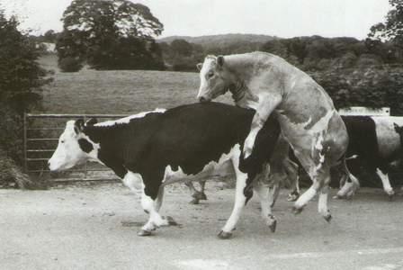 Mucche in accoppiamento