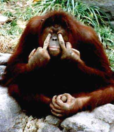 Gorilla dispettoso che fa il medio