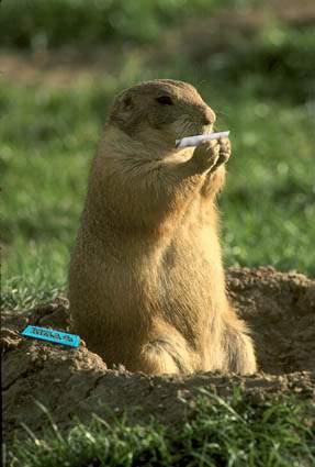 Una marmotta che si fa la canna