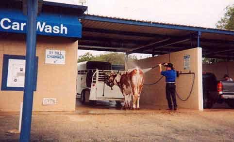 Una mucca all'autolavaggio