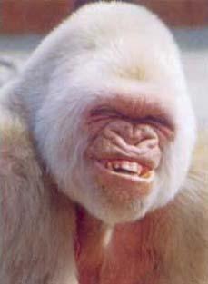 Veramente un bel sorriso per questo gorilla bianco