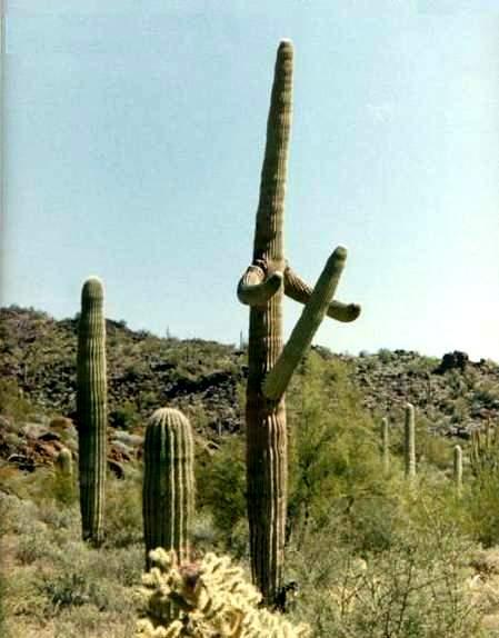Scherzi della nartura. Catctus messicano a forma di uomo